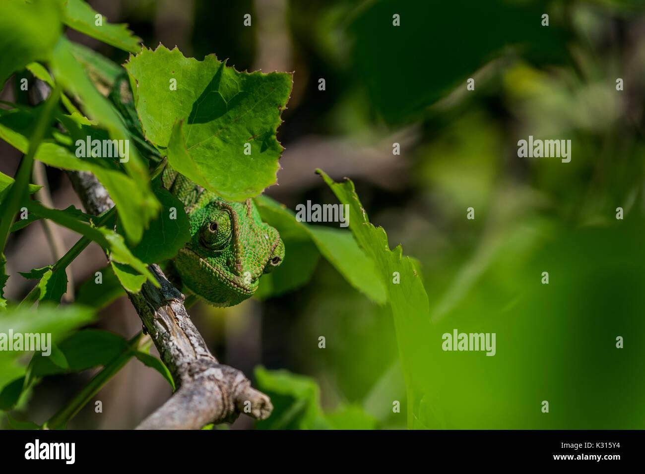 A well camouflaged Mediterranean Chameleon (Chamaeleo chamaeleon) peeking from behind some leaves. Malta - Stock Image
