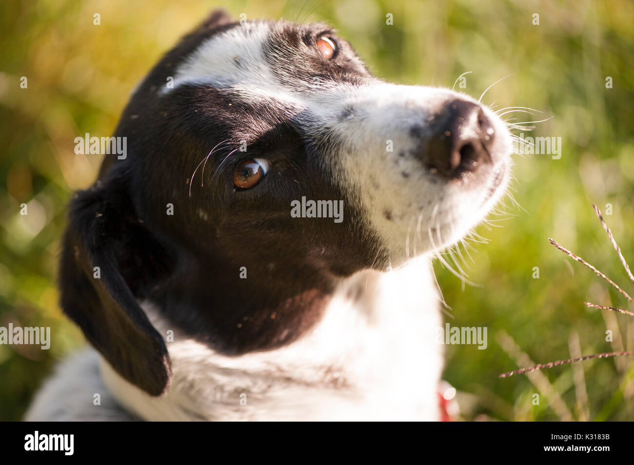 Dog in a field lit by morning sunlight with its head turned to the camera. - Stock Image