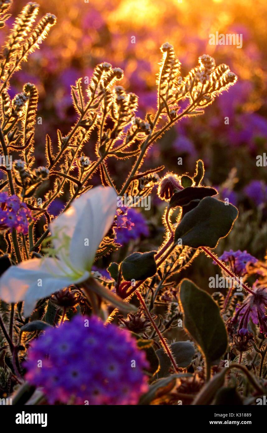 Sunflowers Primroses and Purple Verbena Superbloom 2017 flower bouquet in the Anza-Borrego Desert during sunrise - Stock Image