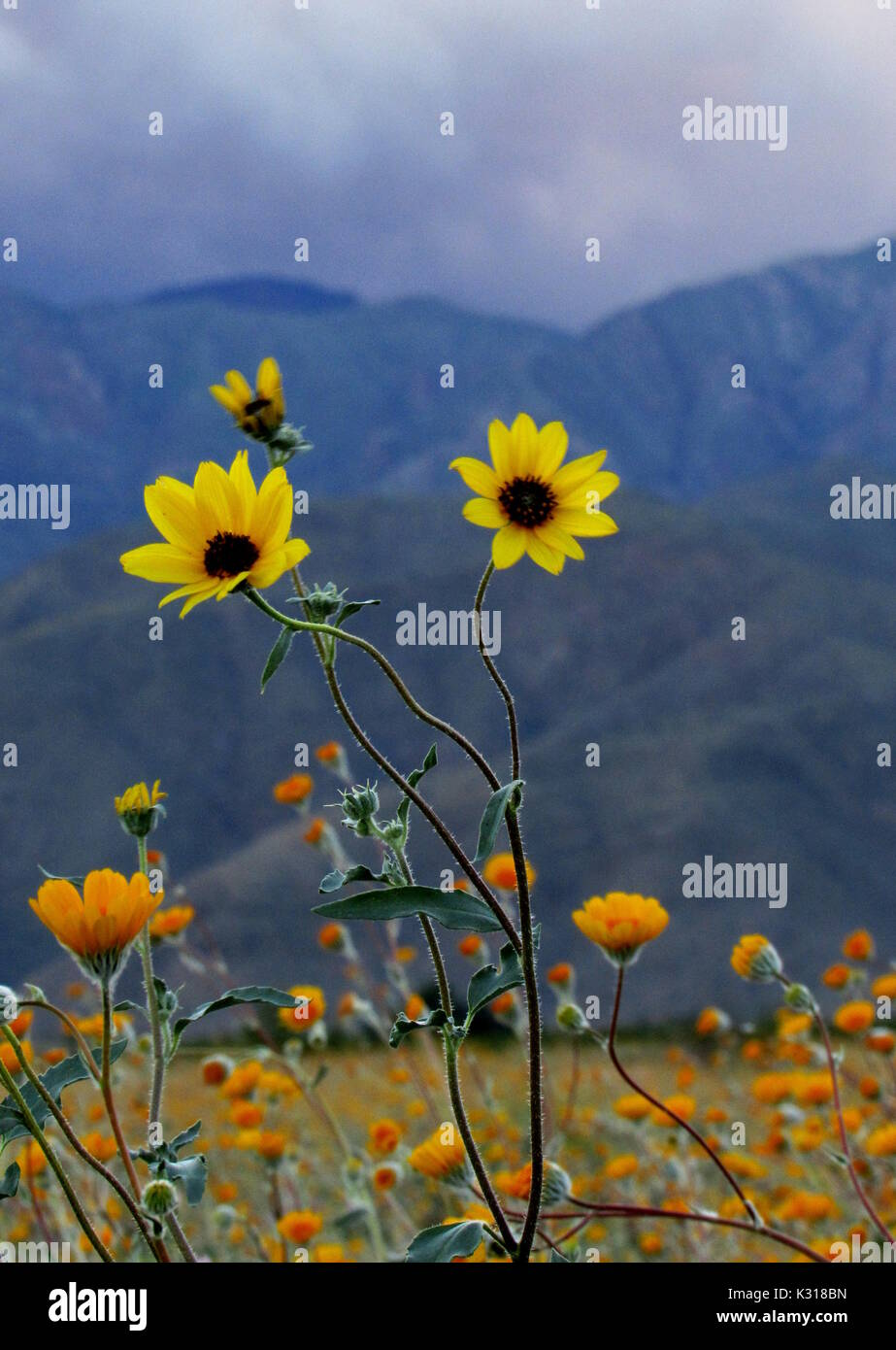 Sunflowers Primroses and Purple Verbena Superbloom 2017 flower bouquets in the Anza-Borrego Desert with cloudy dark mountain background - Stock Image