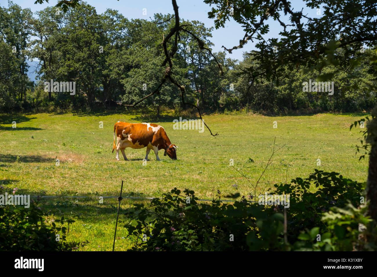 Livestock. Cow farm, Las Merindades County Burgos, Castile and Leon, Spain, Europe Stock Photo