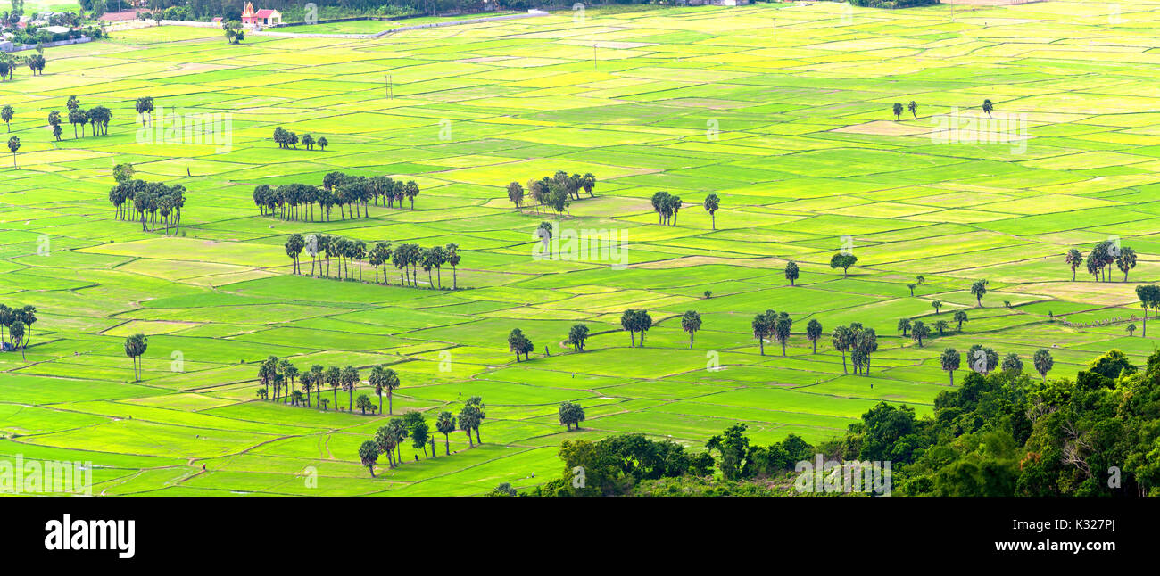 Sugar palms on the rice field view from above is to harvest. Farmers have to combine two plants in agriculture - Stock Image