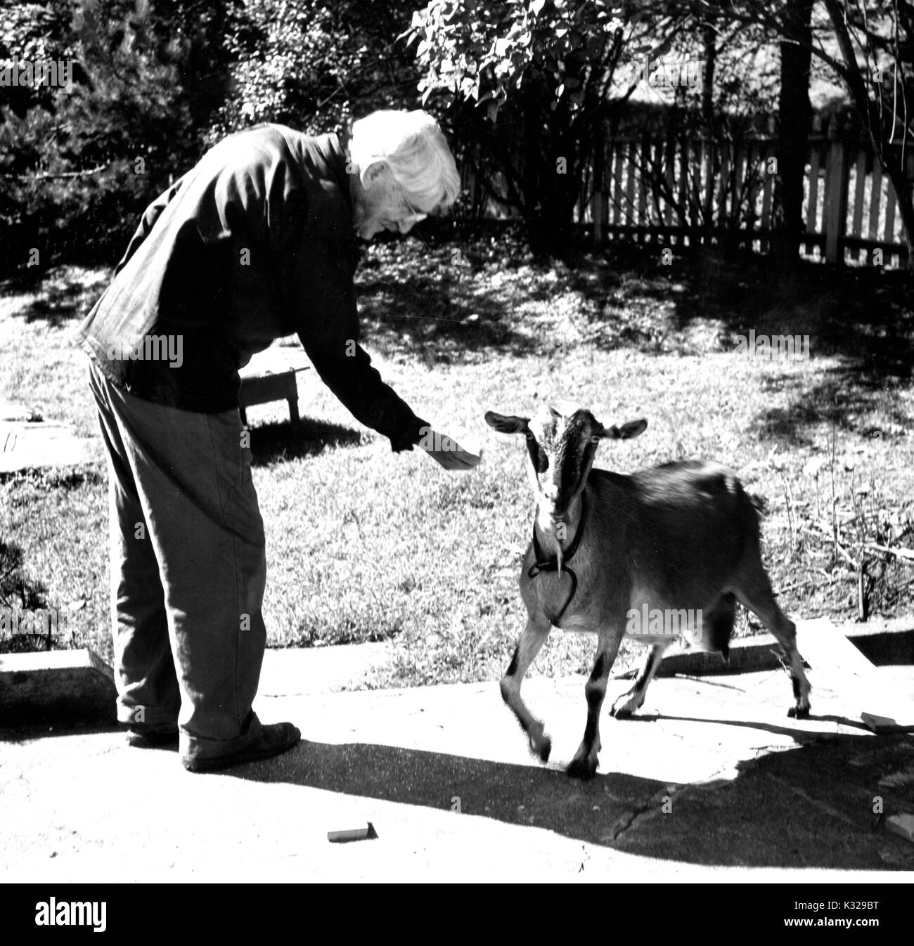 Candid portrait of American philosopher, psychologist, and educational reformer John Dewey standing outside on a path feeding a goat, 1946. - Stock Image