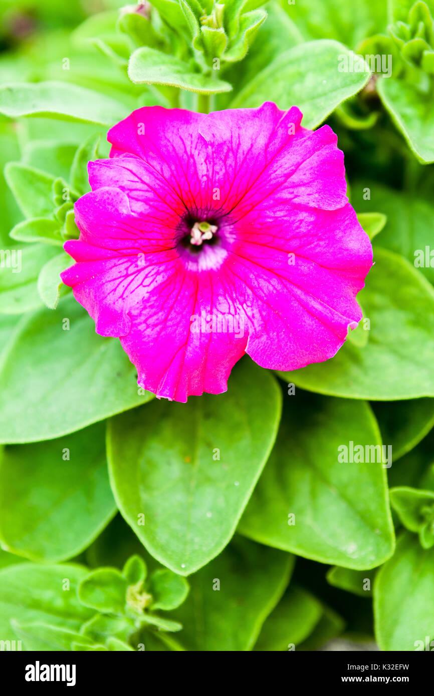 Mirabilis jalapa flower - Stock Image