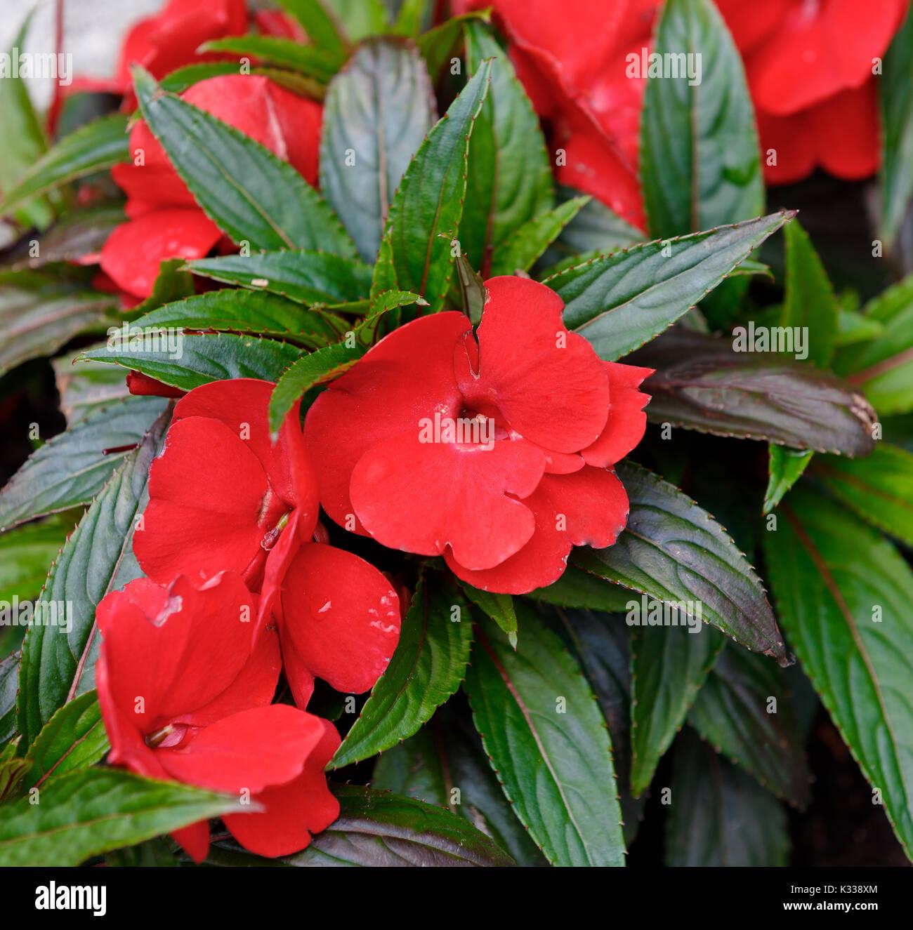 Fiori Nuova Guinea.Red And New Guinea Impatiens Flowers In Summer Garden Stock Photo