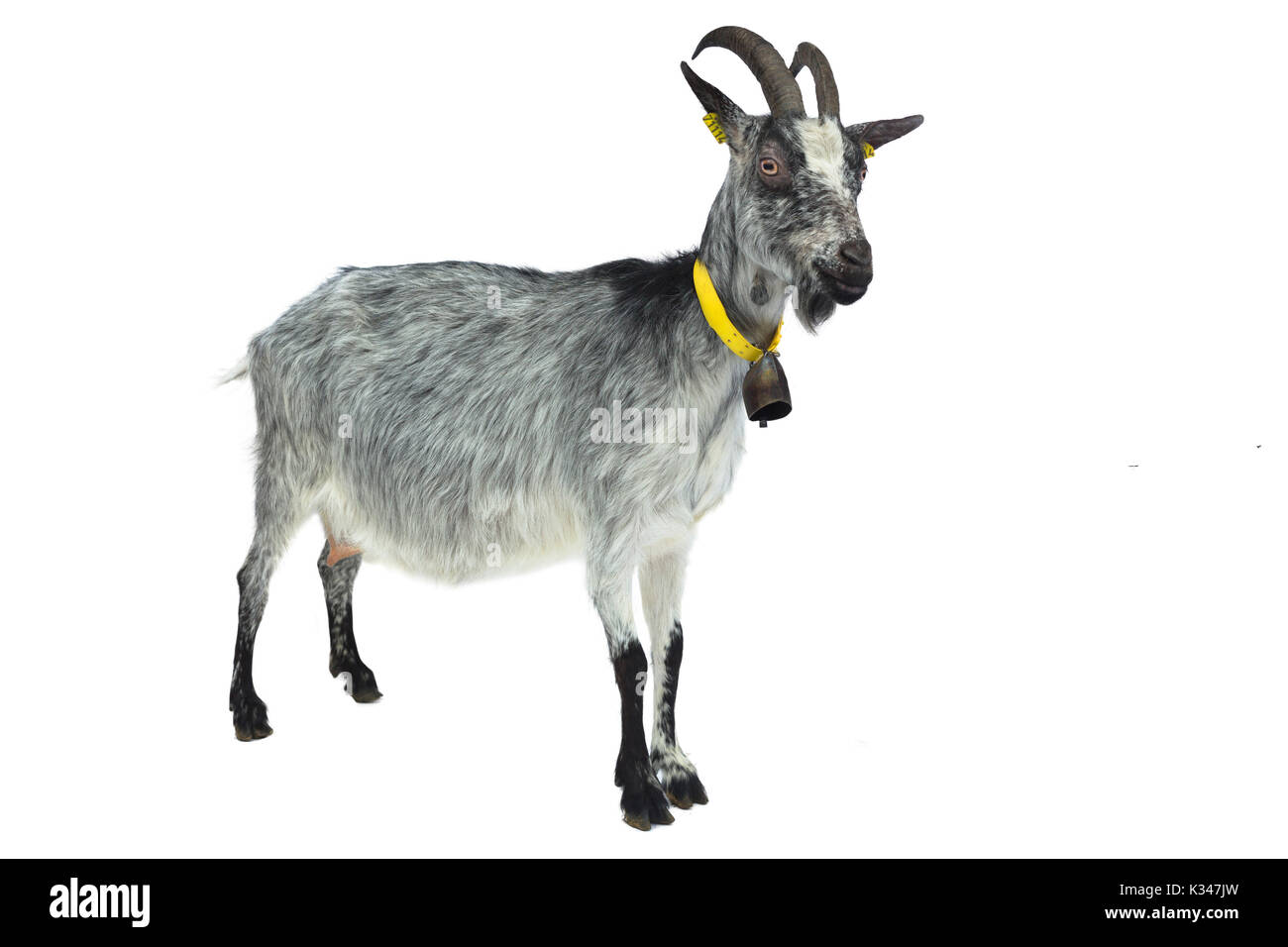 French breed, goat from France: Lorraine goat, can be outlined. - Stock Image