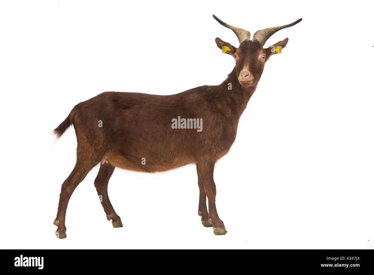 French breed, goat from France: Rove goat, profile, can be cut out. Rove goat with horns and a bell around its neck, outlined. - Stock Image
