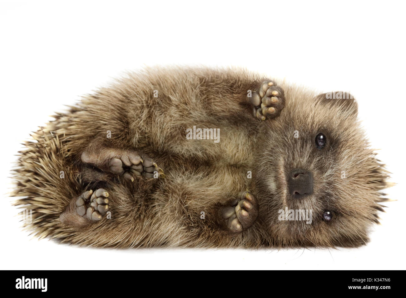 Small hedgehog (Erinaceus europaeus), curled up on its side, on a white background - Stock Image