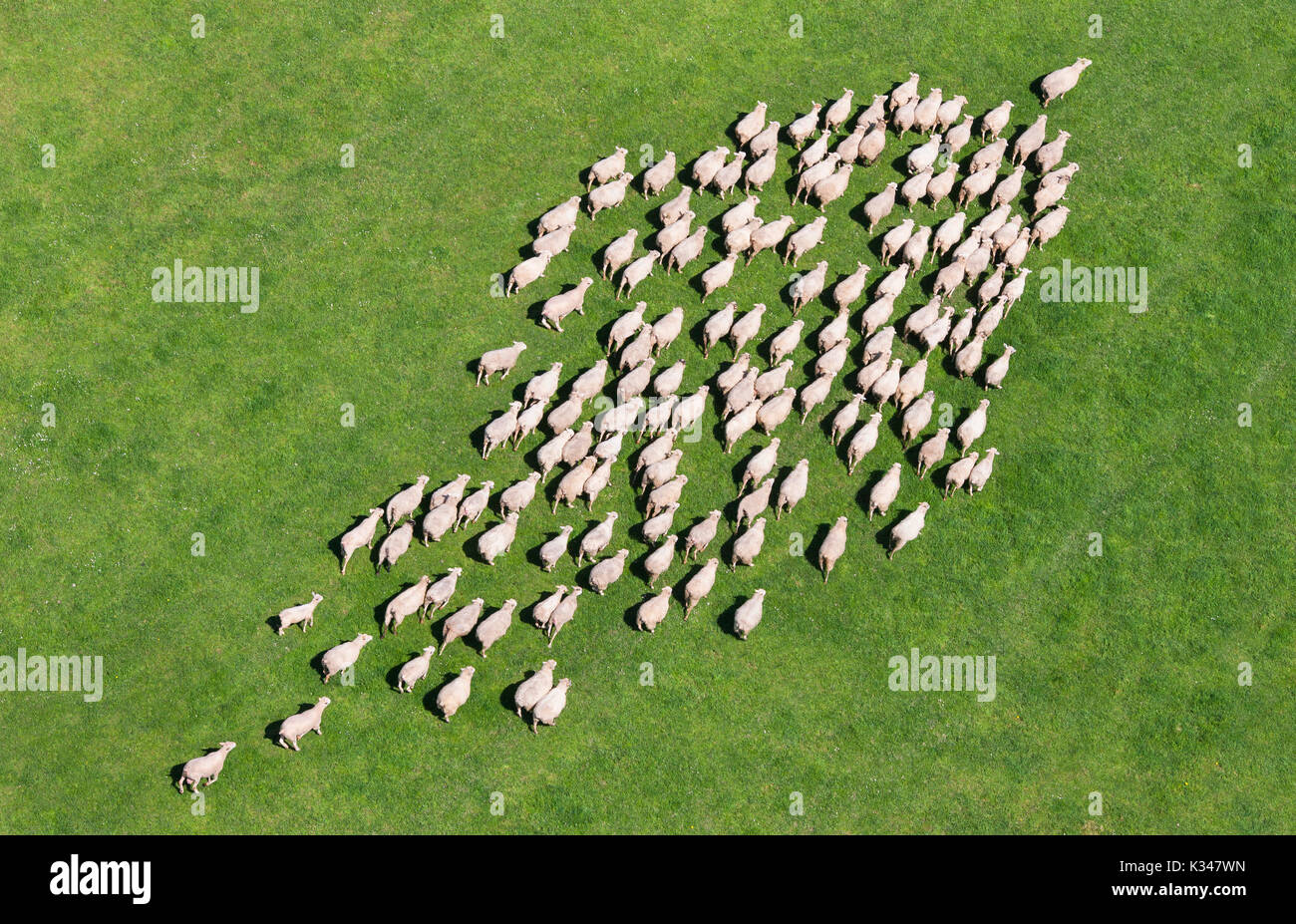 Aerial view of a herd of sheep - Stock Image