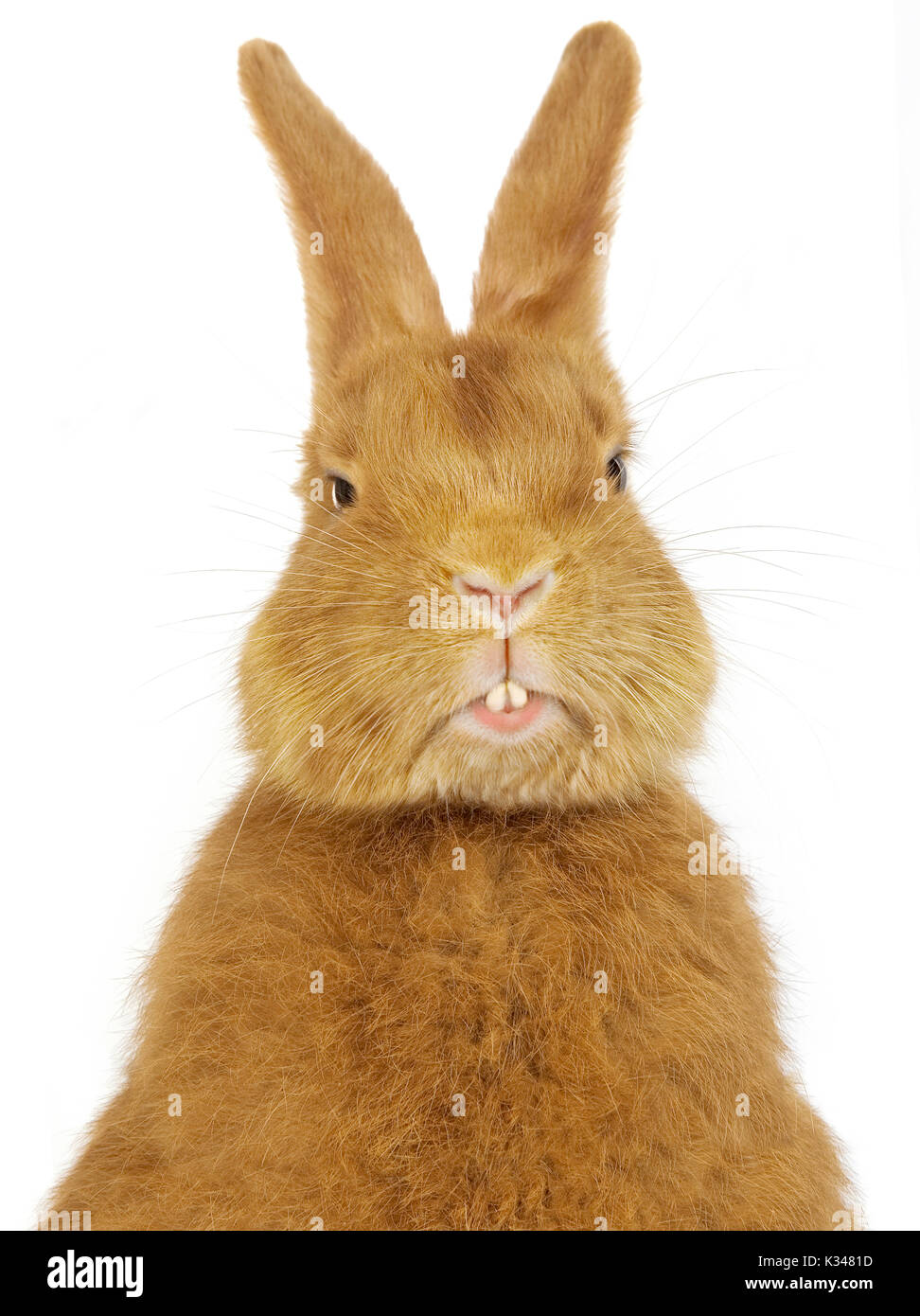 Fauve de Bourgogne domestic rabbit with visible incisors - Stock Image