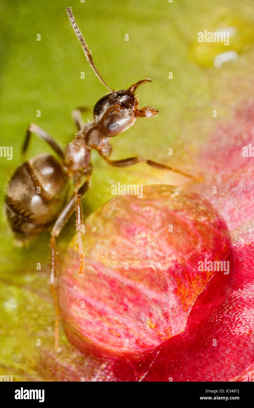 Ant in front of a dew drop, on a peony flower. Ant in a defensive attitude. - Stock Image