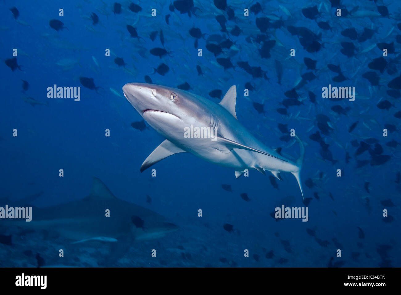 Gray reef shark (Carcharhinus amblyrhynchos) in the foreground with bull shark in shadowy blue background below. Beqa Lagoon, Fiji. - Stock Image