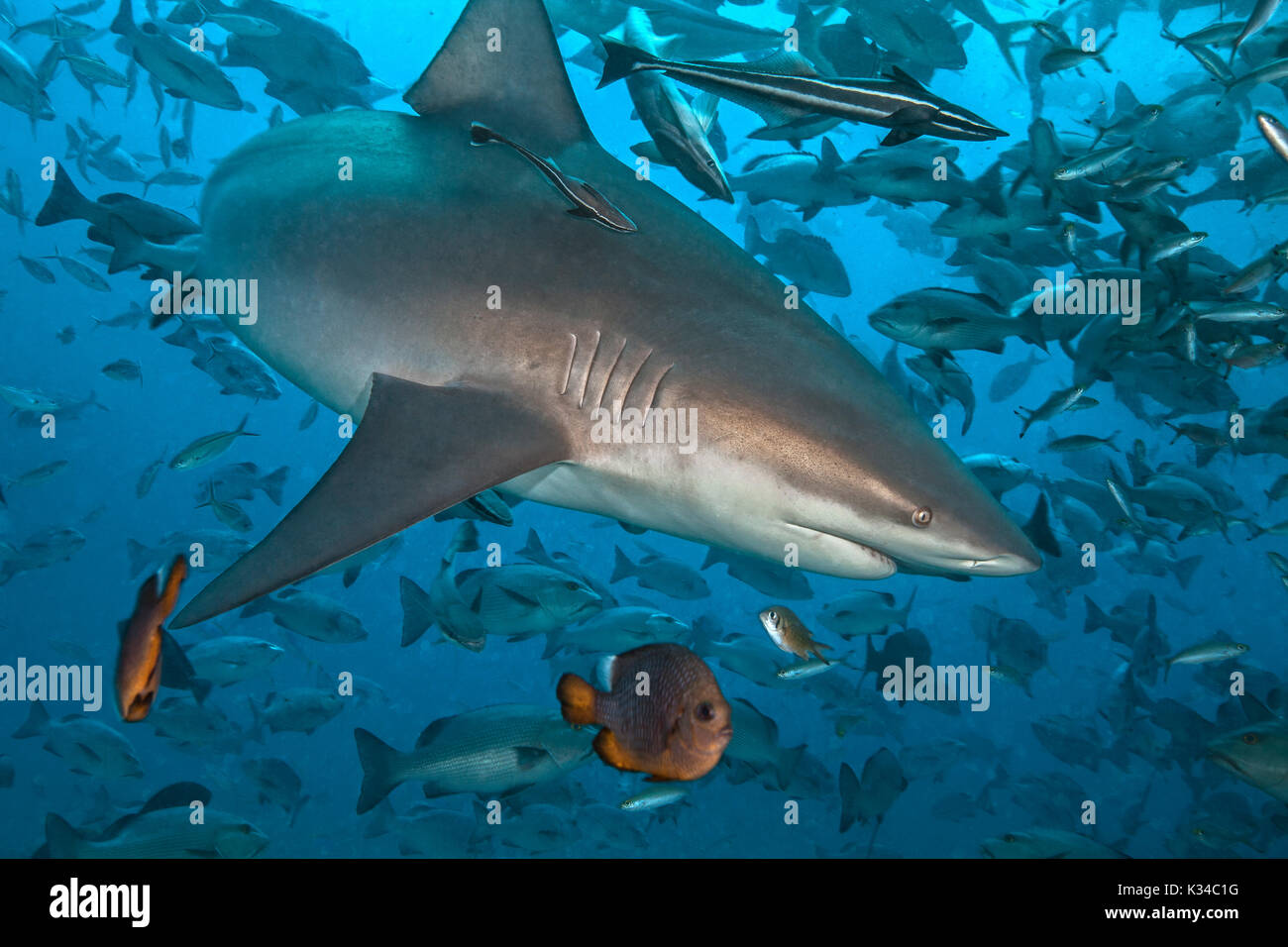 Lemon shark, (Negaprion brevirostris), with entourage of  remora. Beqa Lagoon, Fiji - Stock Image