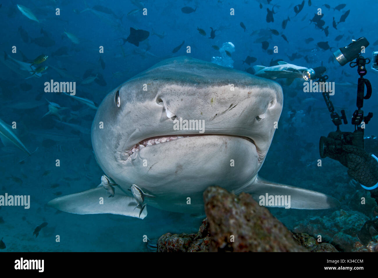 Videographer takes close up images of a large tiger shark as it approaches within arm's length. - Stock Image