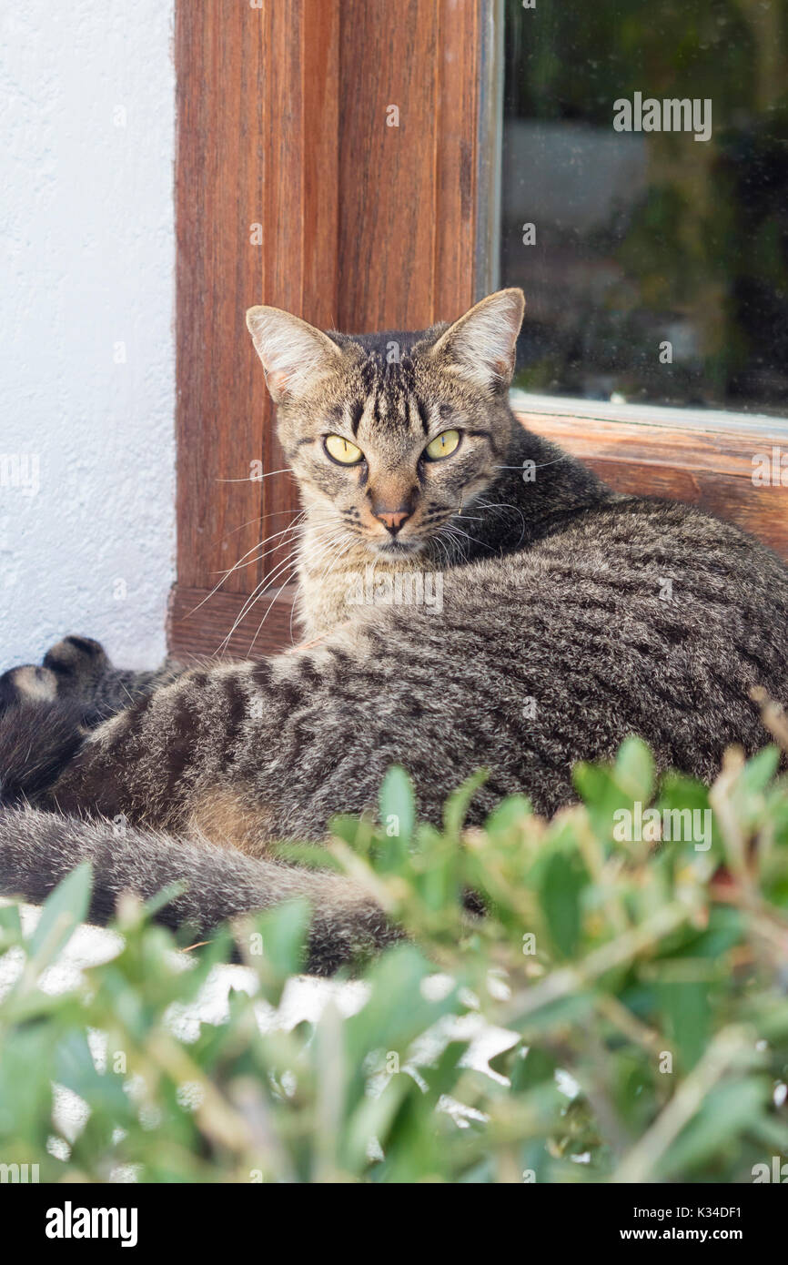 Angry striped cat looking at camera on a sunny day. - Stock Image