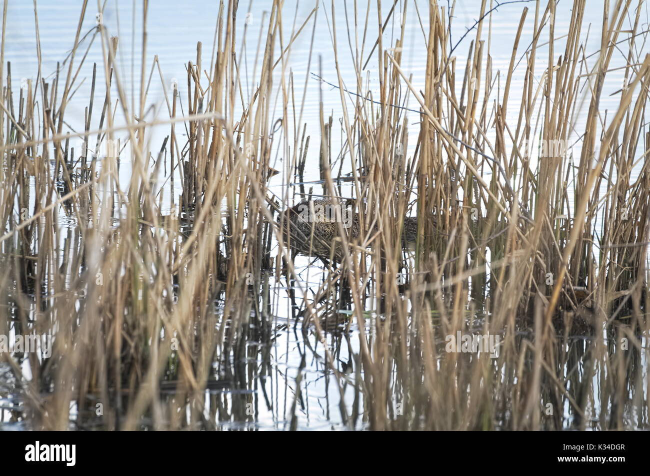 Coypu Animal Swimming in the Water between Dry Reeds Stock Photo