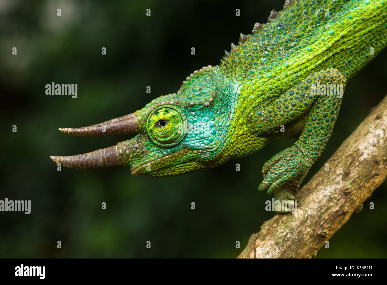 Adult male Jackson's chameleon (Trioceros jacksonii jacksonii) on branch - Stock Image