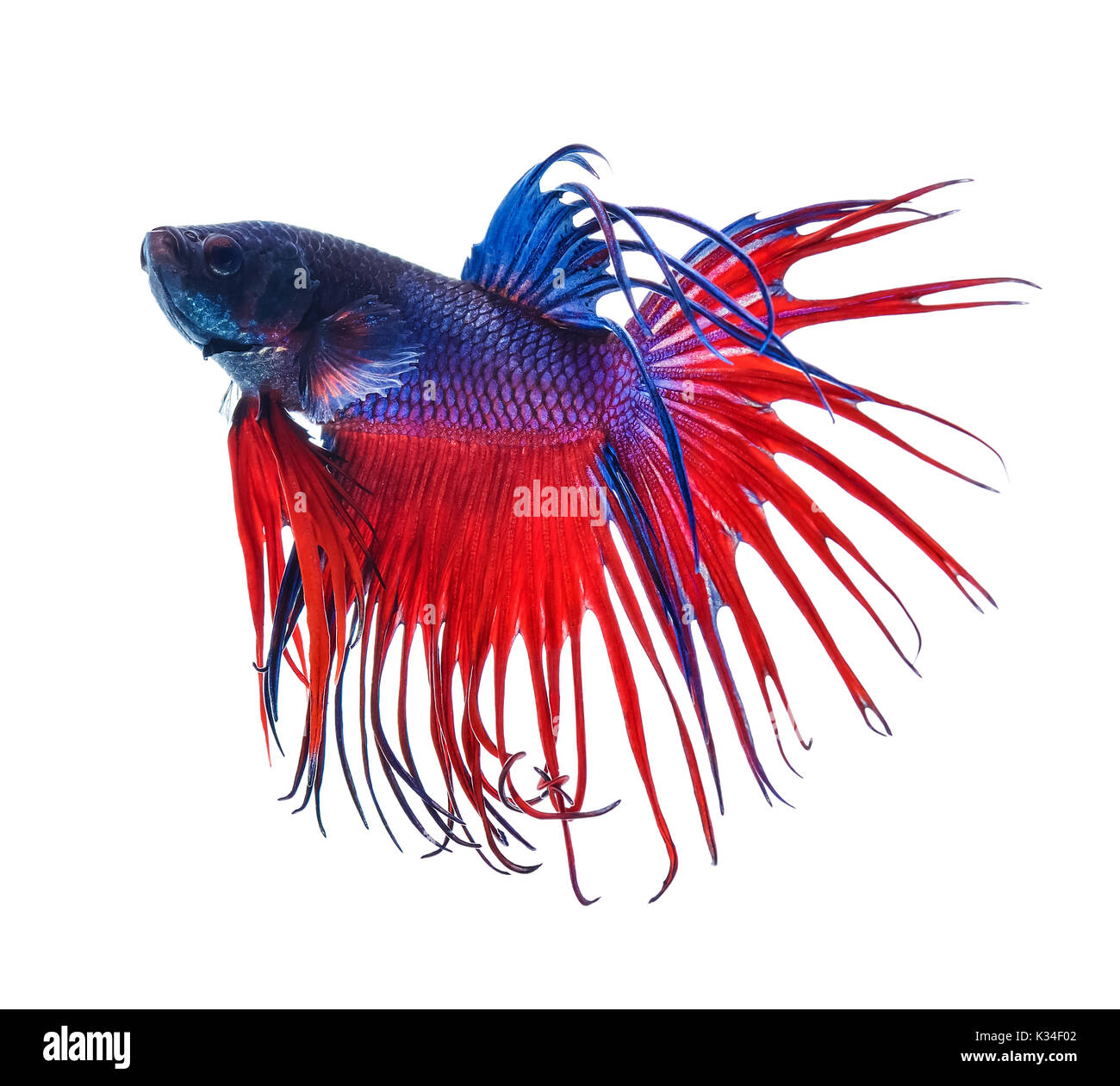 fighting fish.Colorful Dragon Fish. isolated on white background ...