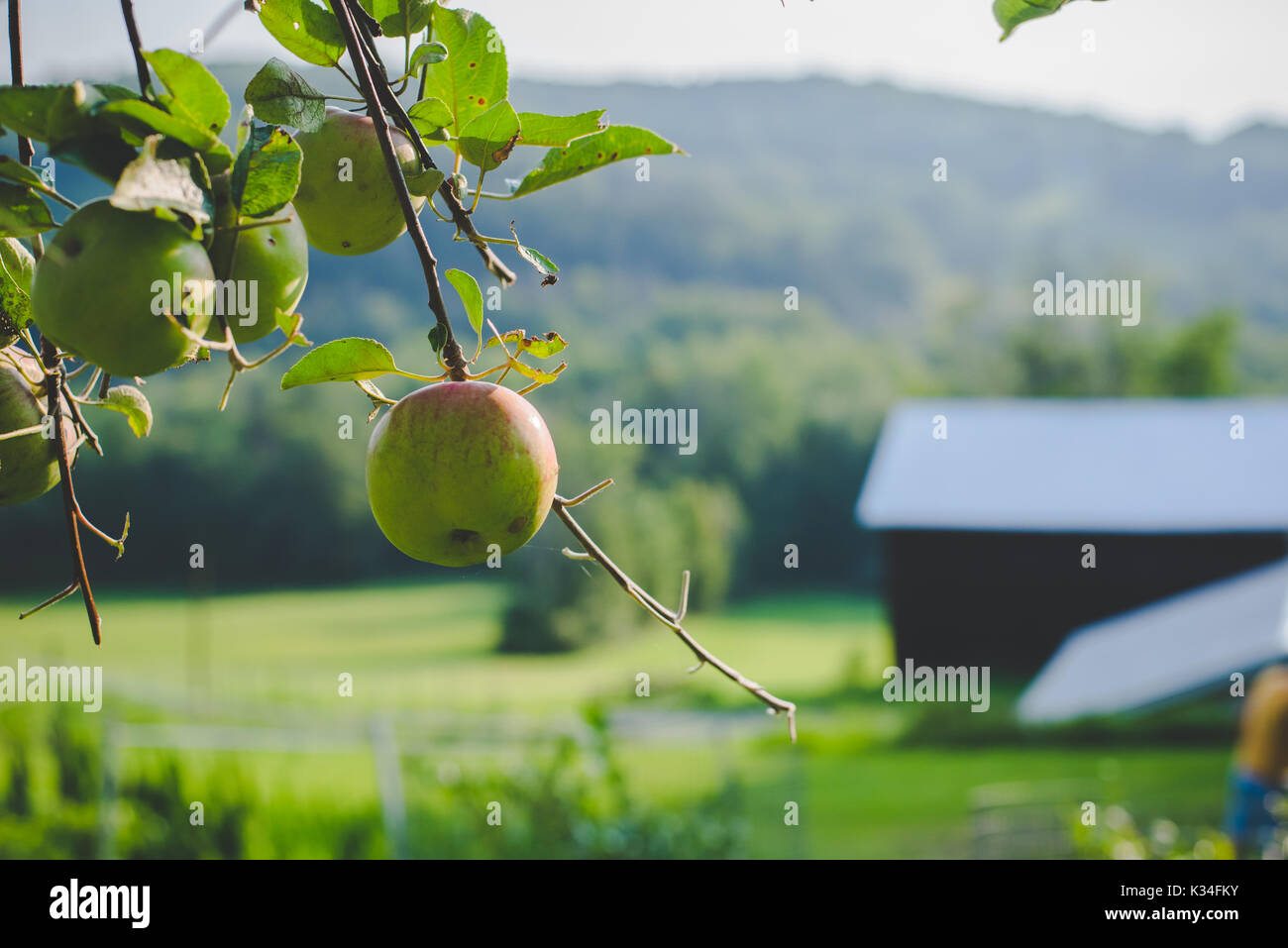Apples on a tree in autumn. - Stock Image