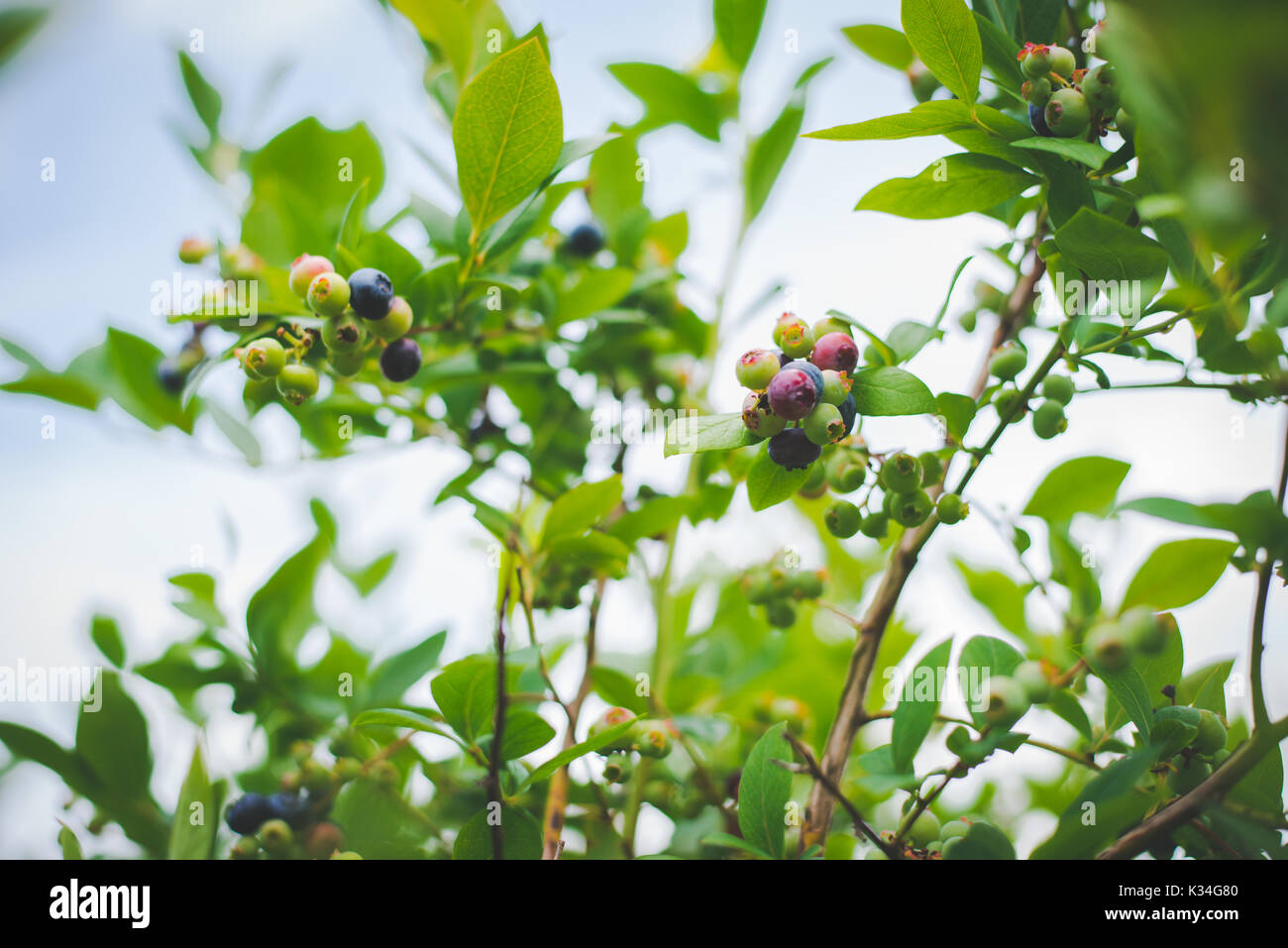 Blueberries on a blueberry bush against a blue sky in rural USA - Stock Image