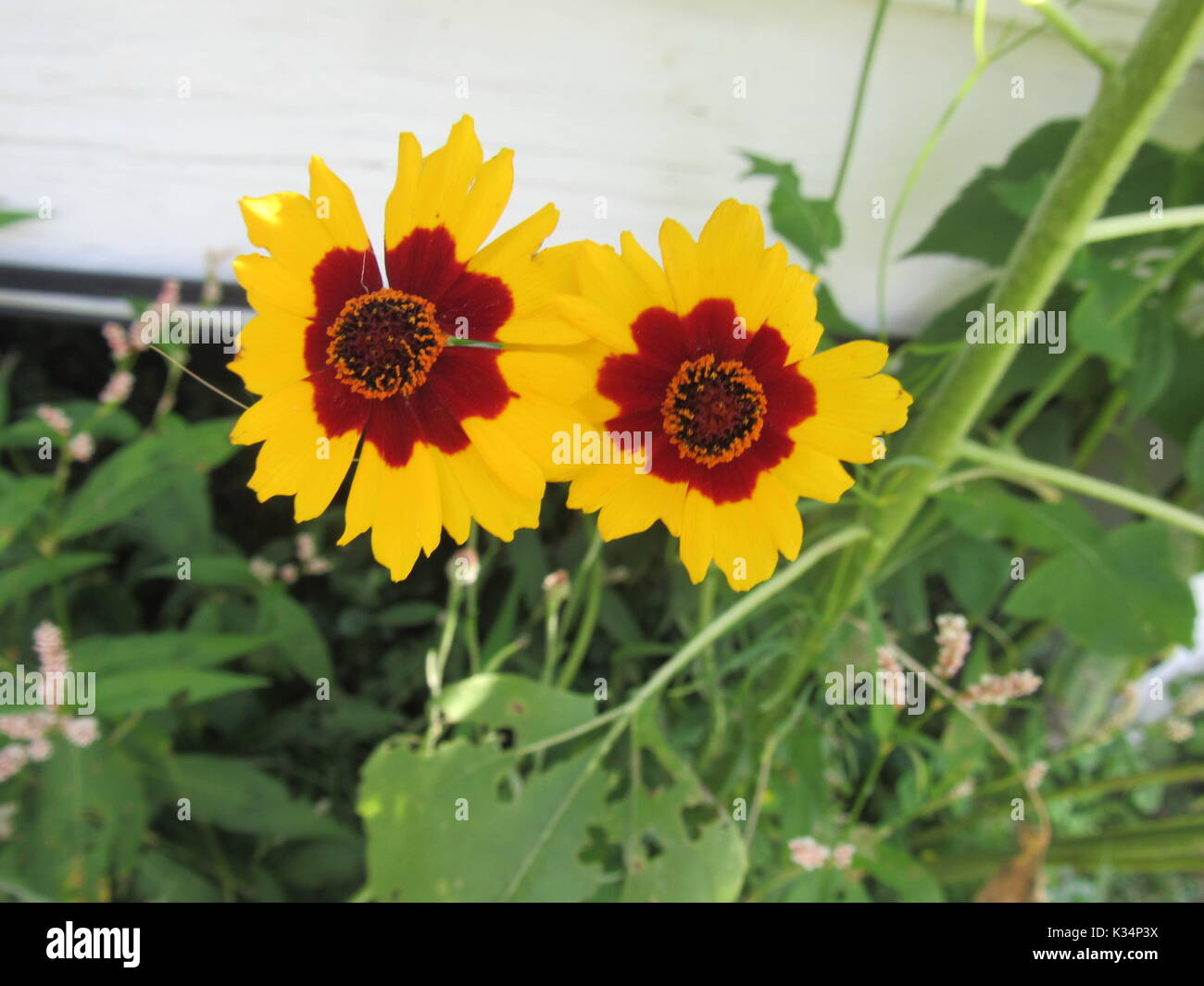 Types of daisy stock photos types of daisy stock images alamy easy to grow garden flowers in various colors and types daisy type flowers izmirmasajfo