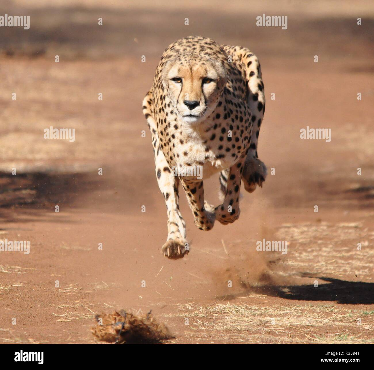 Running cheetah frontal view - Stock Image