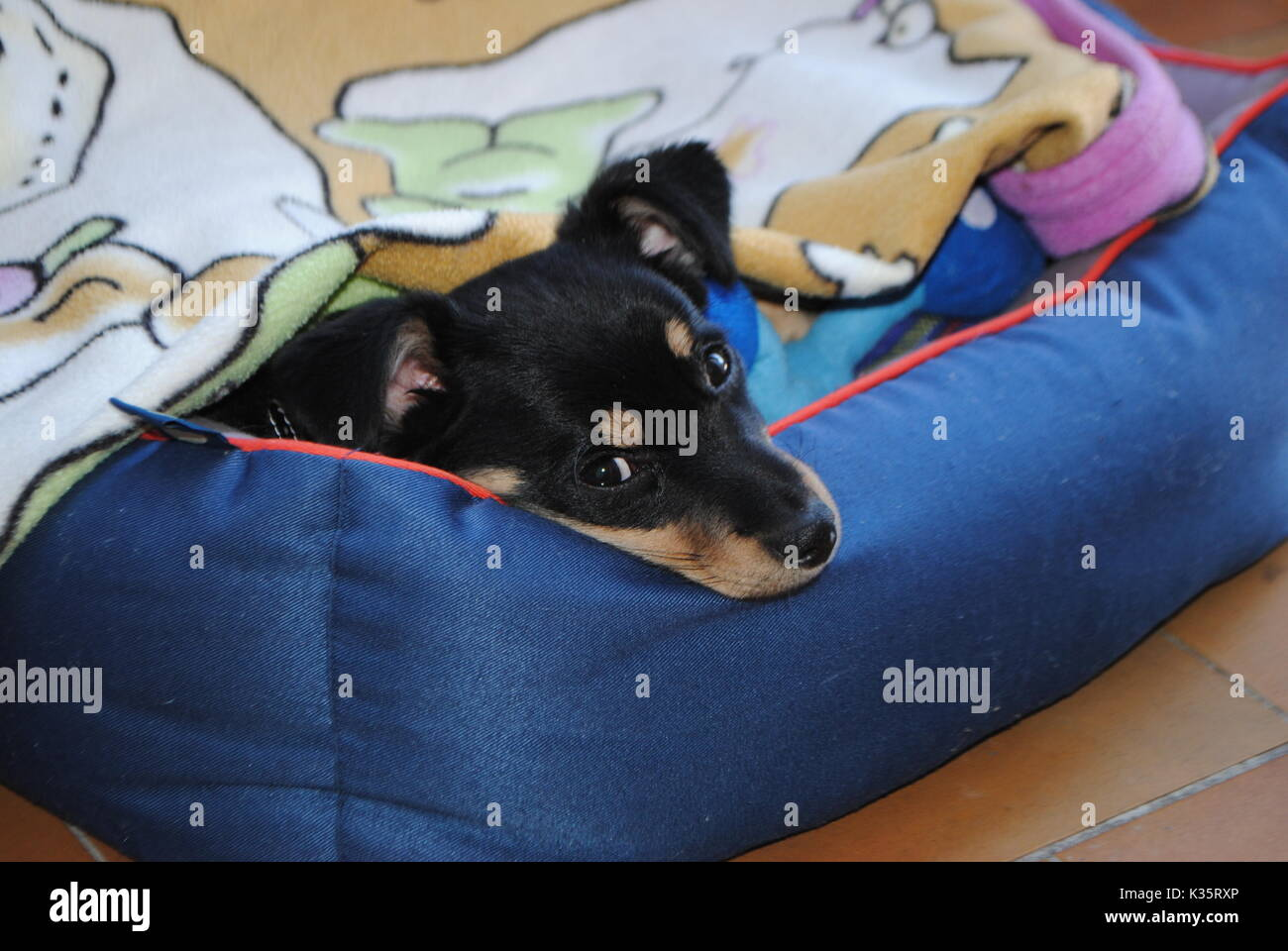 the puppy sleeping - Stock Image