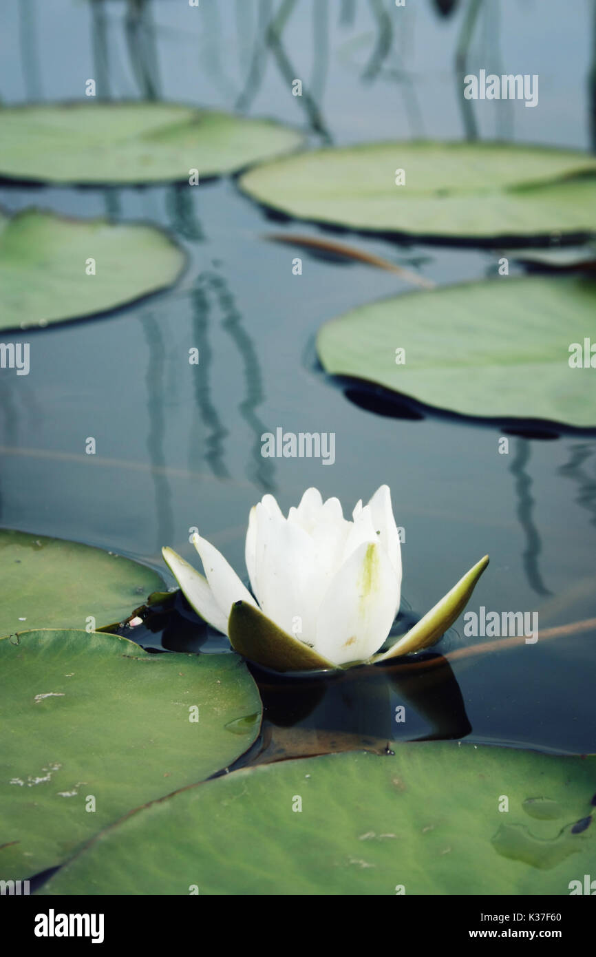 Nympaea Tetragona Georgi. Aged photo. White water lily and green lily pads in the lake. IUCN, Red List. Kenozersky National Park (UNESCO Biosphere Res - Stock Image