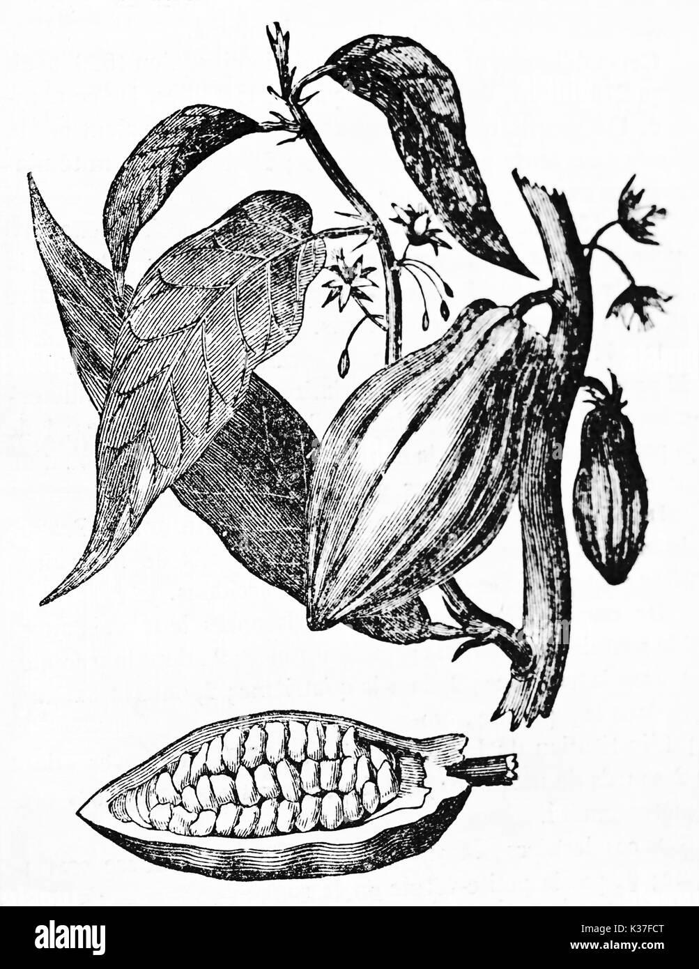 Old Botanical Isolated Illustration Of Cacao Tree Flowers Fruit And Stock Photo Alamy