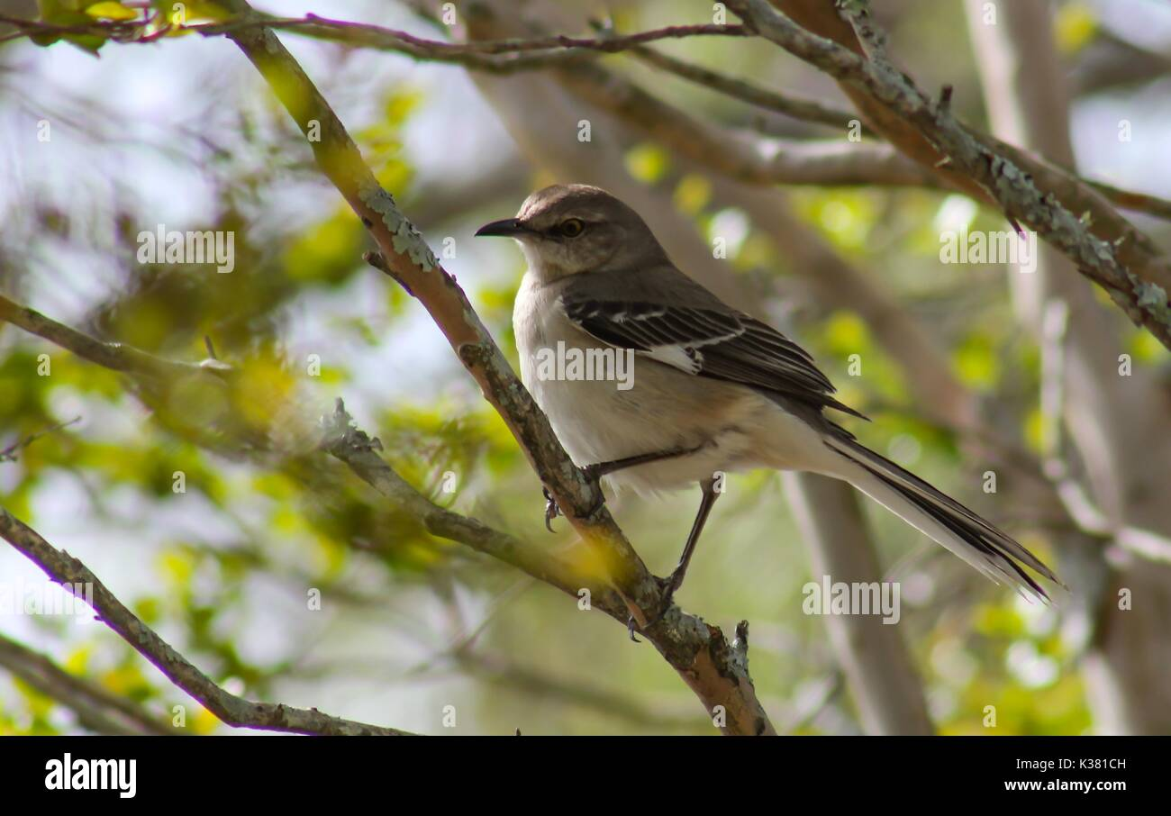 Northern Mockingbird Perched on a Tree Branch Stock Photo