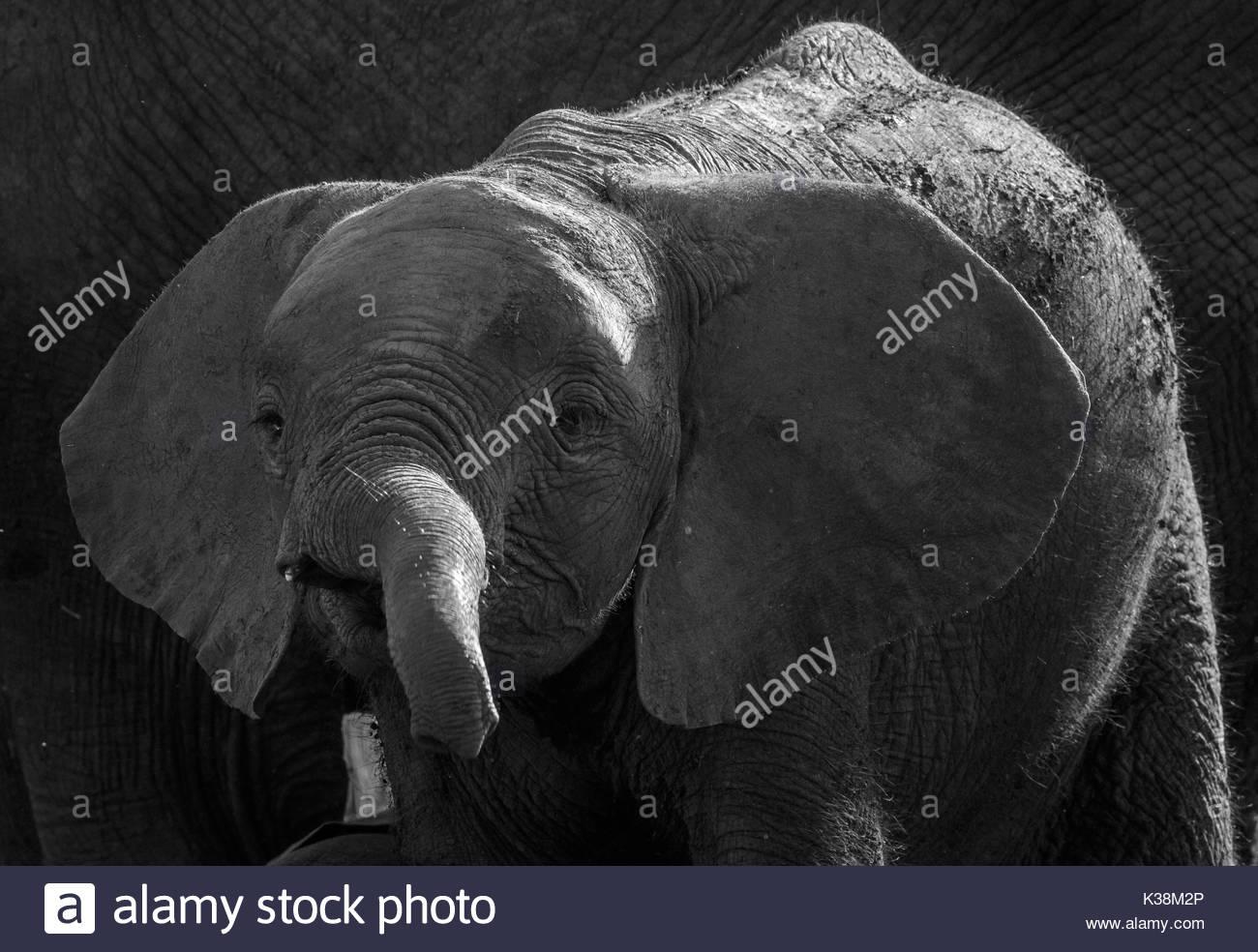African Elephant in Chobe National Park, Botswana - Stock Image