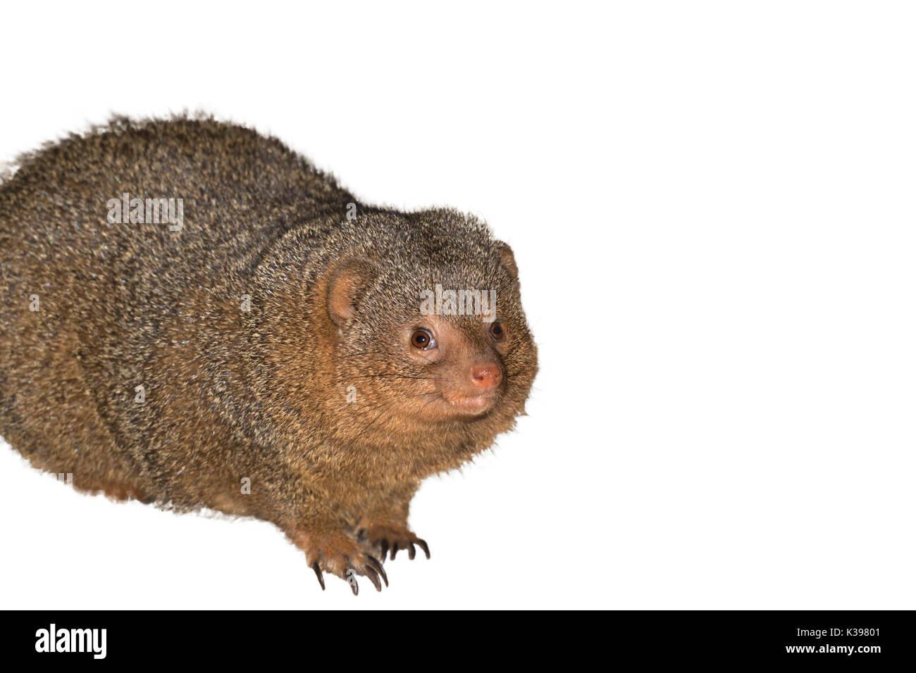 Common dwarf mongooses, Helogale parvula  isolated on white background - Stock Image
