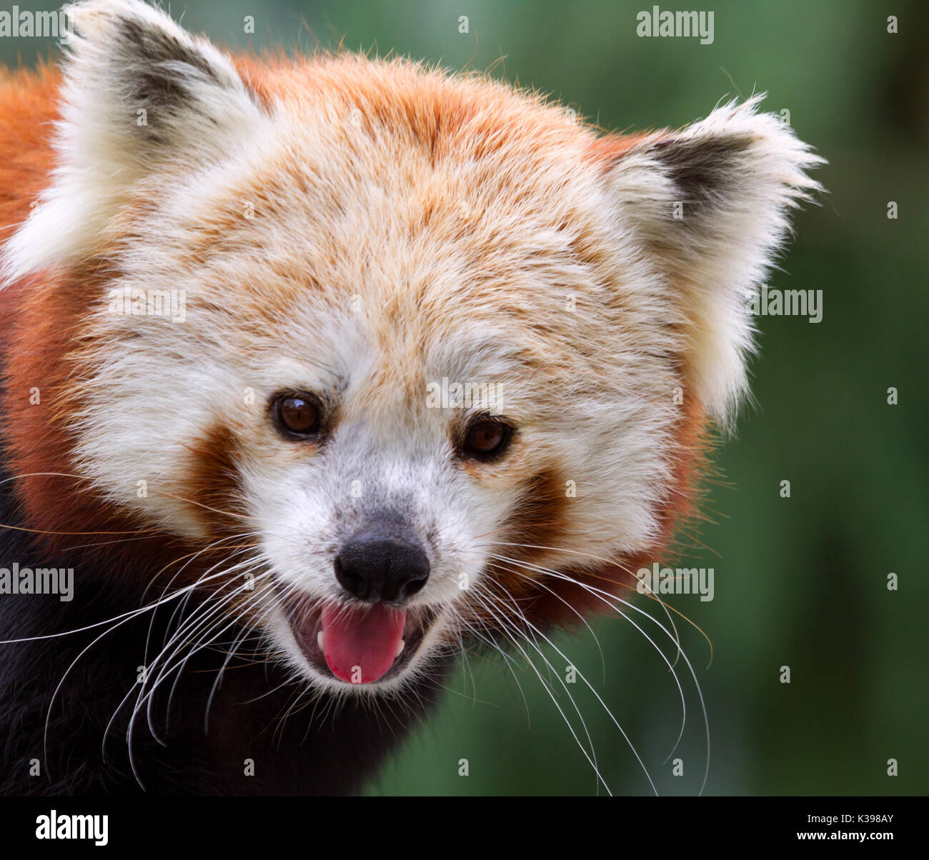 Red panda (Ailurus fulgens) at Blank Zoo Des Moines, IA, USA - Stock Image