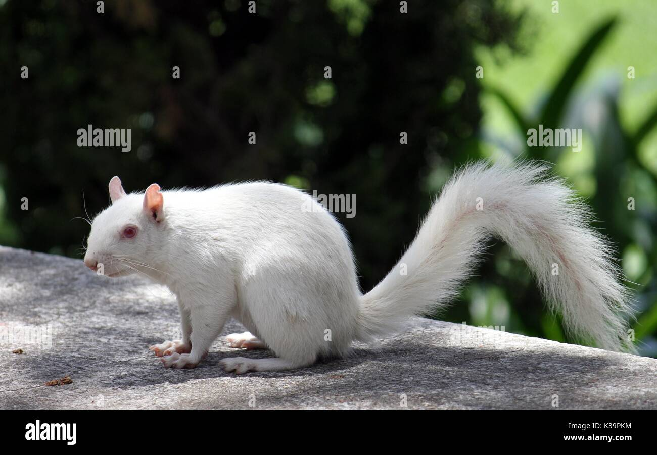 Albino Squirrel In the Company's Garden, Cape Town - Stock Image