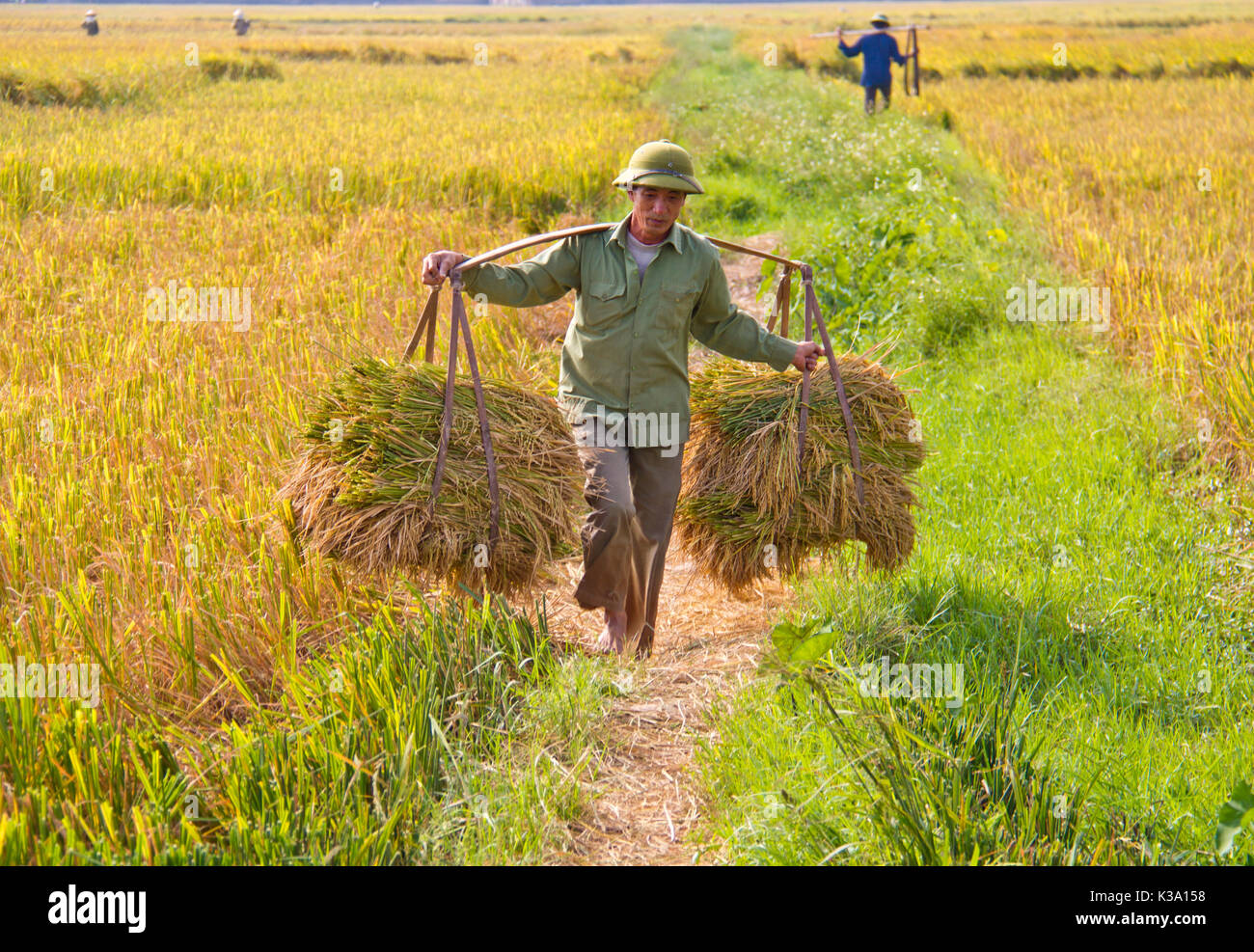 North Vietnamese farmer harvests field on Oct 25, 2011 - Stock Image