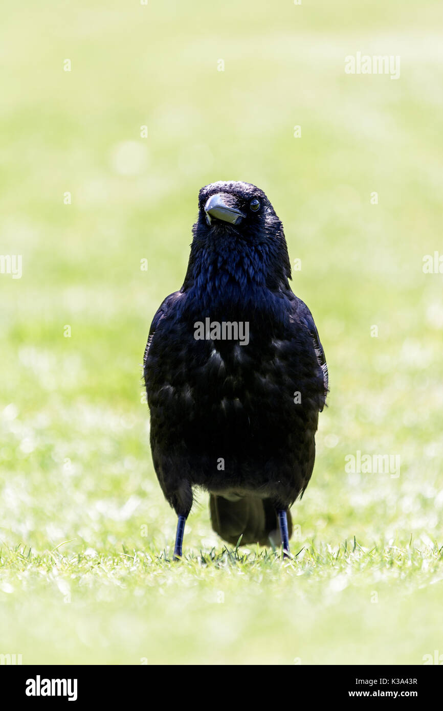 black raven in the park of the Louvre in Paris - Stock Image