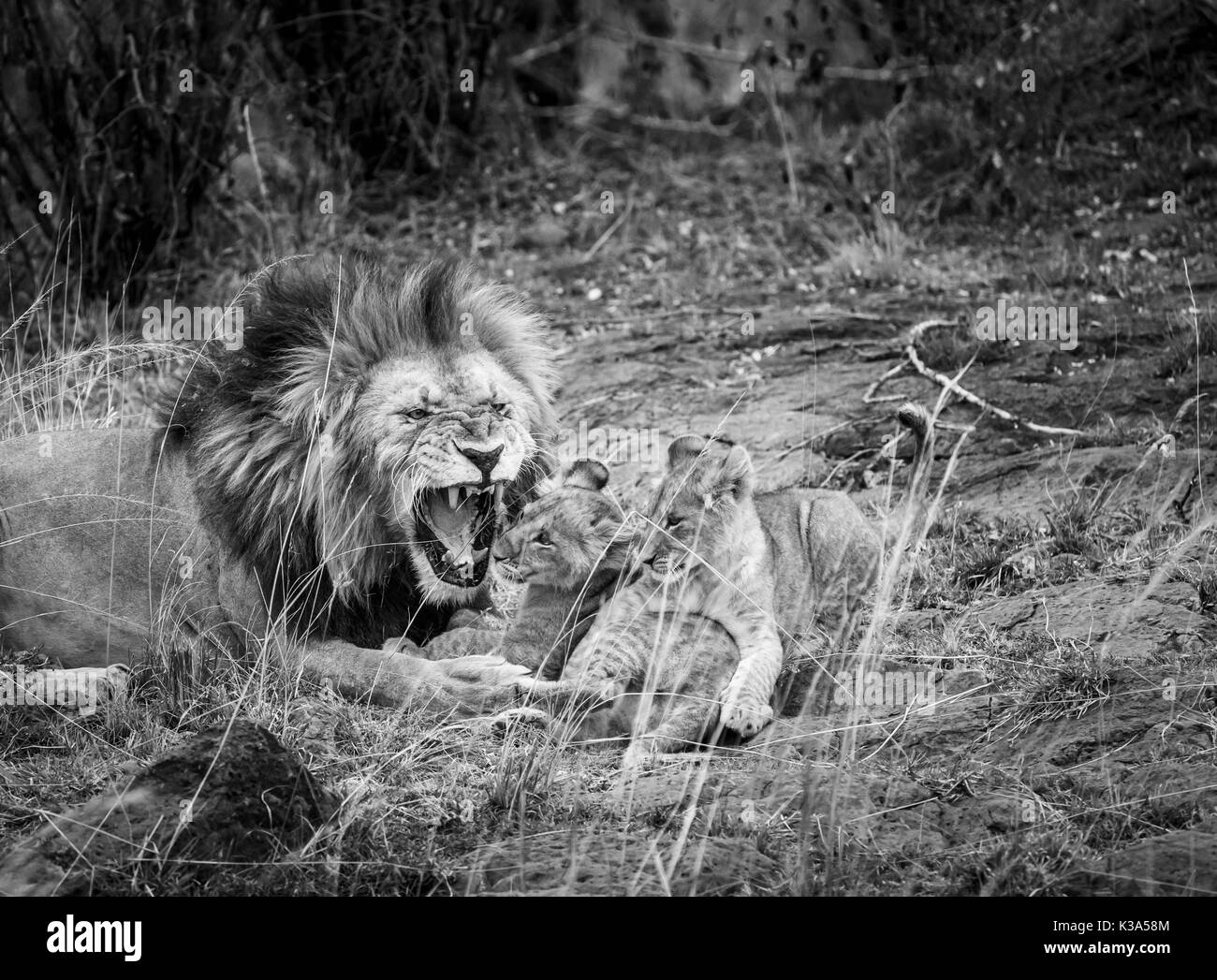 Male Mara lion (Panthera leo) playfully growls as he interacts with his family of cute young lion cubs, Masai Mara, Kenya, in monochrome - Stock Image