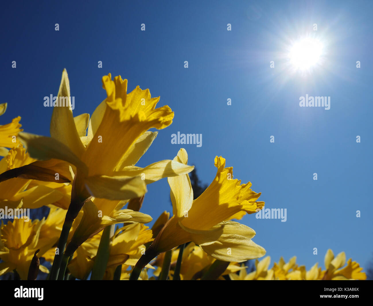 Yellow Jonquils worship the warm morning sun on a spring day (Narcissus jonquilla). The Jonquil is one of the first Stock Photo