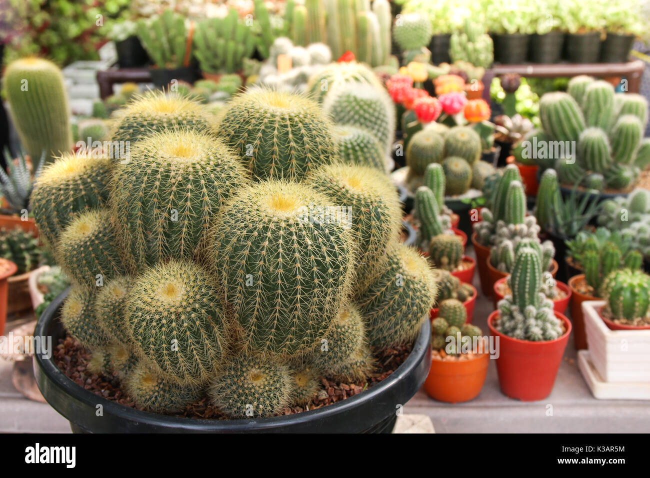 Beautiful Cactus In Pot For Home Decorate Mini Plant For Decor