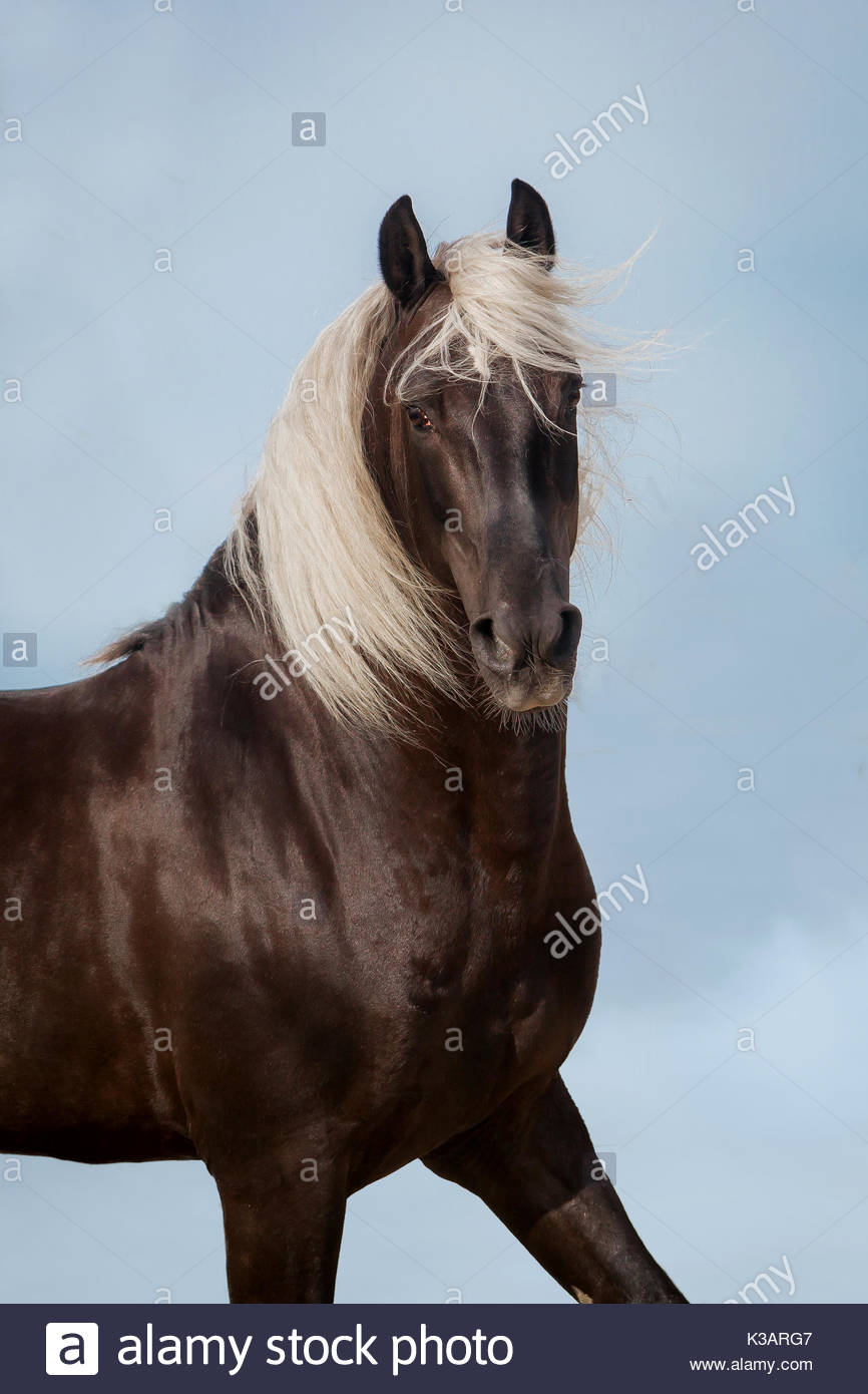 Lusitano chocolate stallion photographed in Spain on blue sky - Stock Image