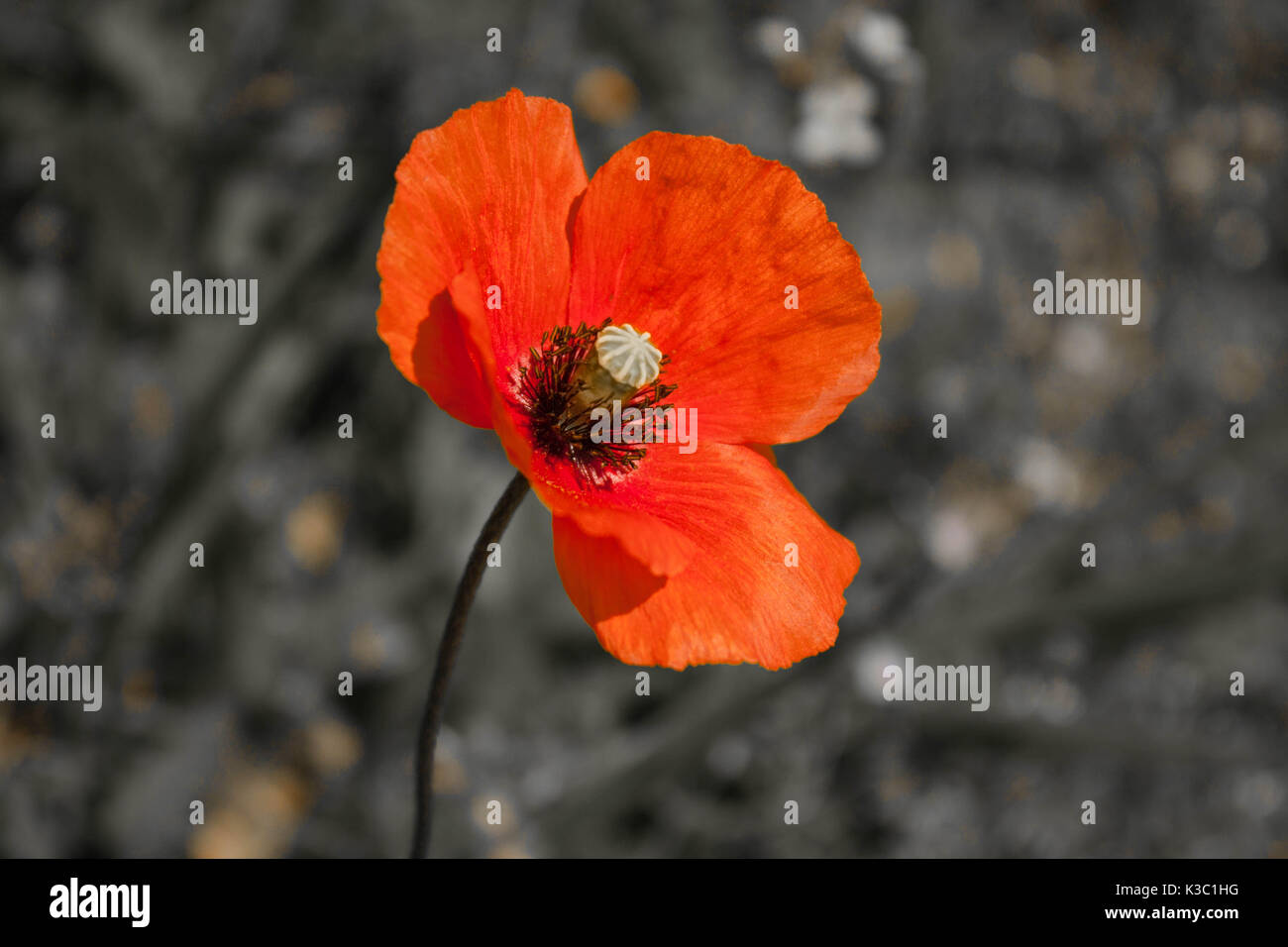 Black and white poppy stock photos black and white poppy stock red poppy flower close up in abstract black and white field background stock image mightylinksfo