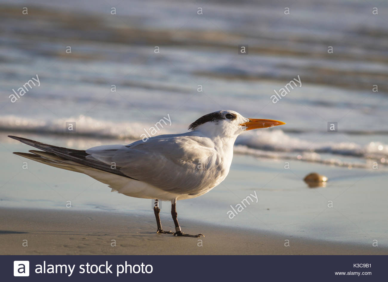 A sunlite Royal Tern (Thalasseus maximus) with a leg identification