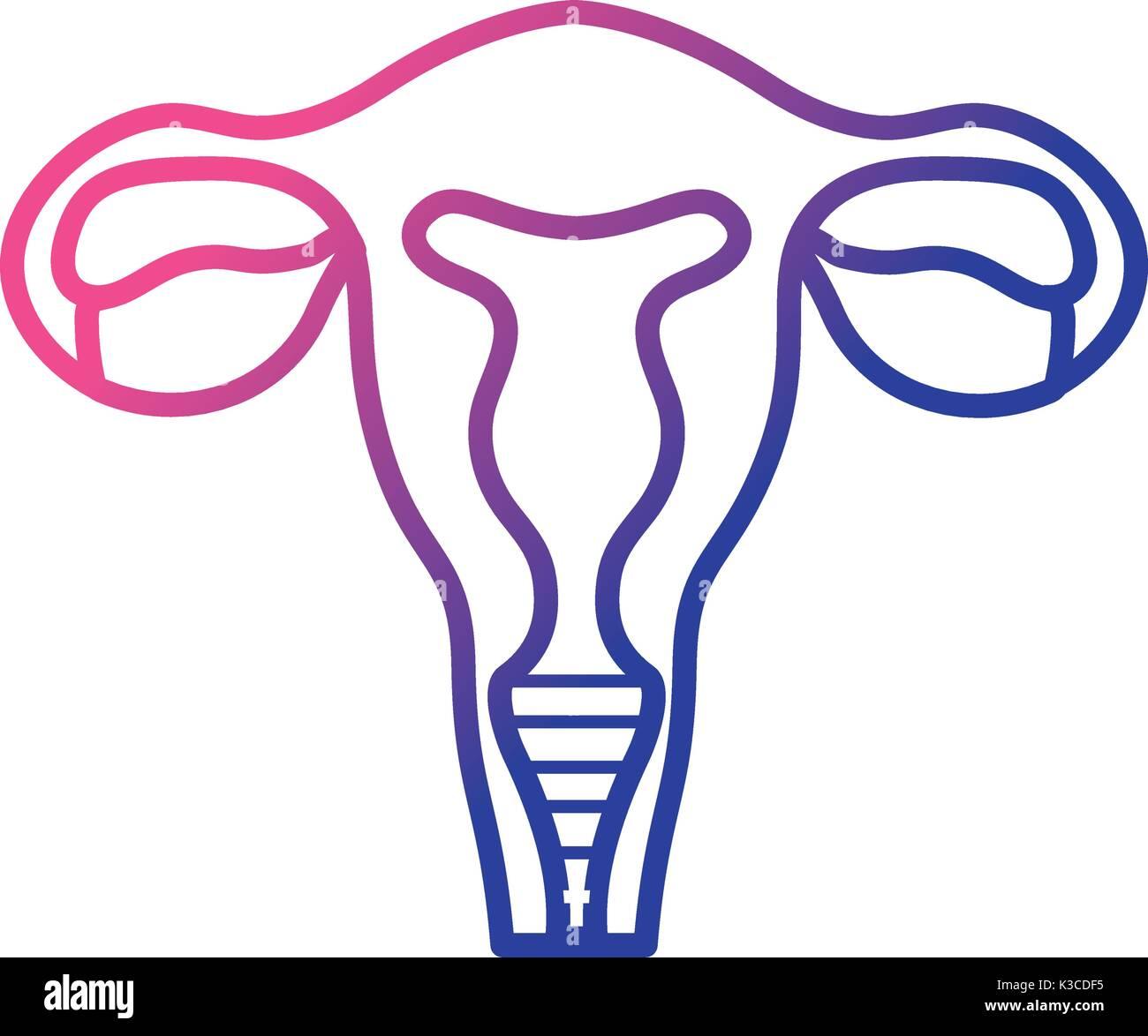 line fallopian tubes with uterus to human anatomy Stock Vector Art ...