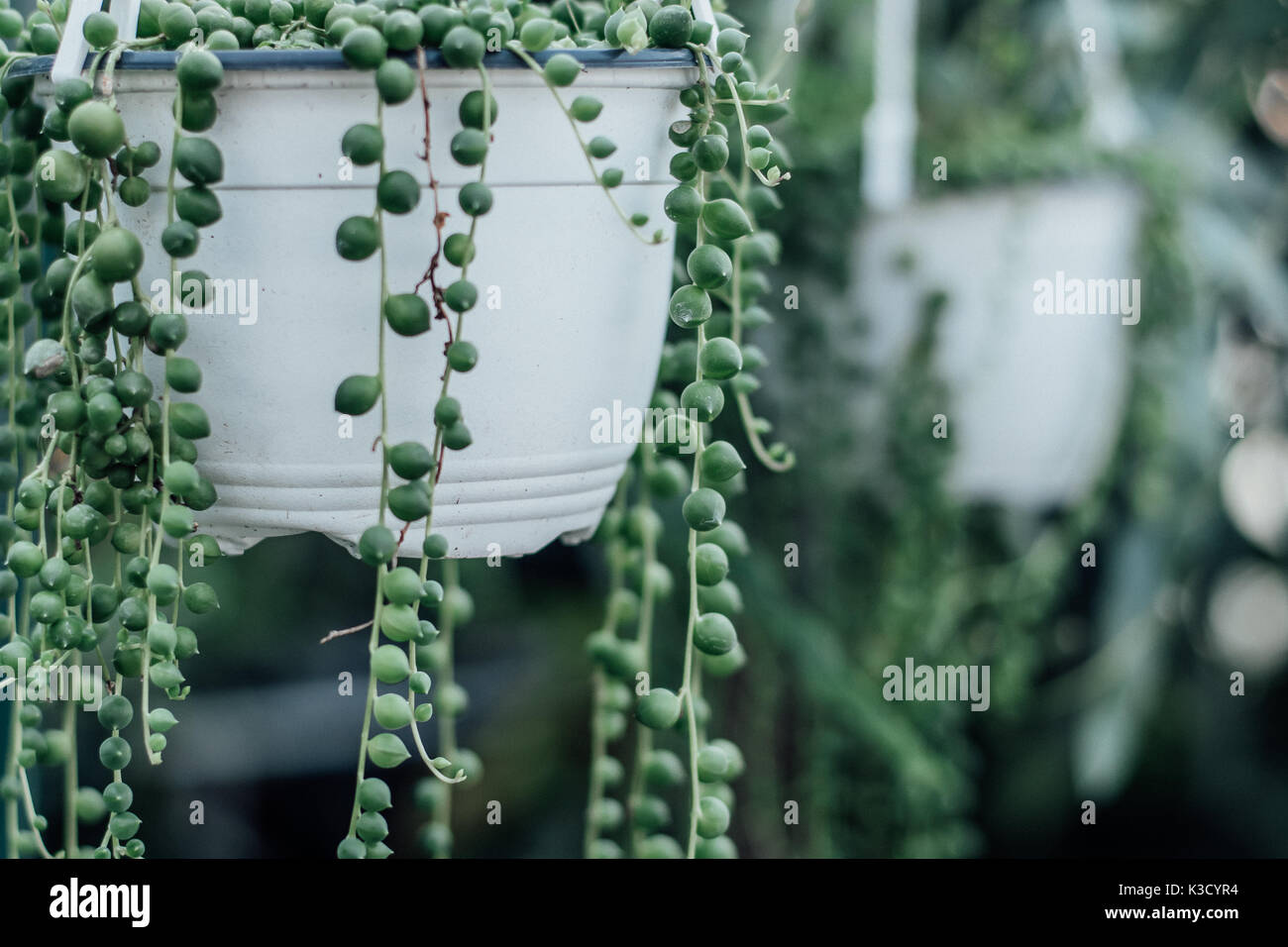 string of pearls succulent plant hanging in a greenhouse, symbolizing calm and serenity with room for copy - Stock Image