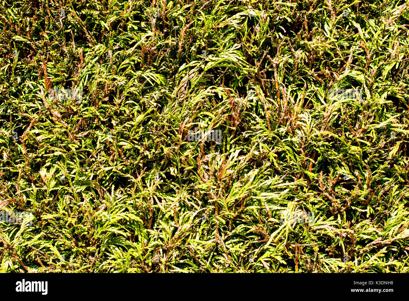 Close Up Of A Green Conifer Hedge - Stock Image