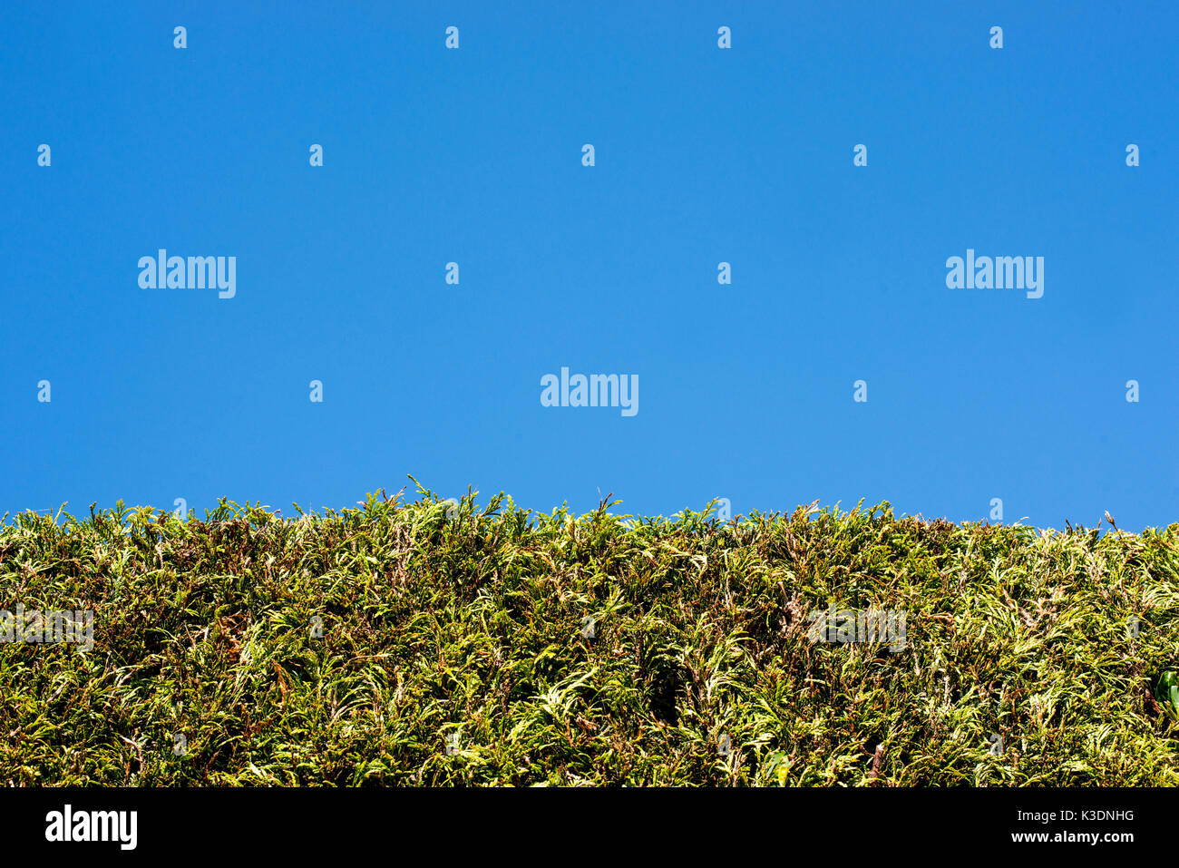 Green Conifer Hedge TOp Against A Clear Blue Summer Sky - Stock Image