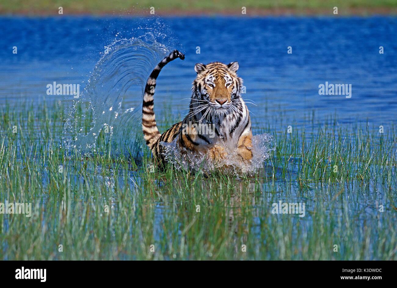 Bengali tiger, Panthera tigris, full-grown, water, run, - Stock Image