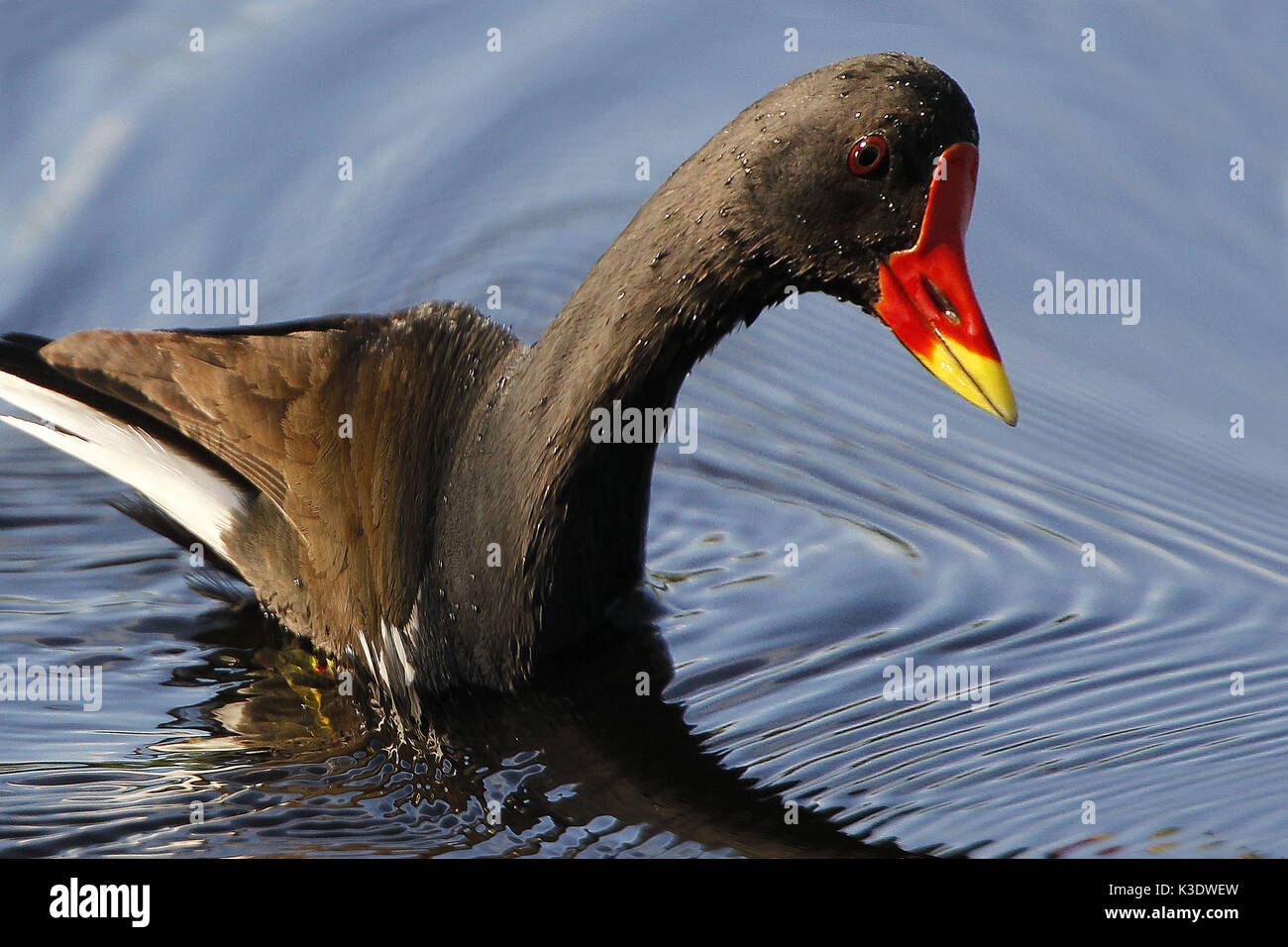 European pond chicken, Gallinula chlorine opus, water, Stock Photo