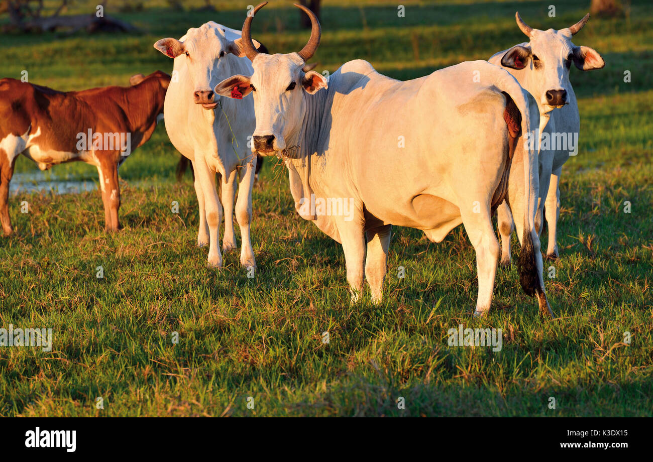Brazil, Pantanal, herd of cattle, Nelore Cattles, confermed to the climatic conditions of the biggest bottomlandes of the earth, - Stock Image