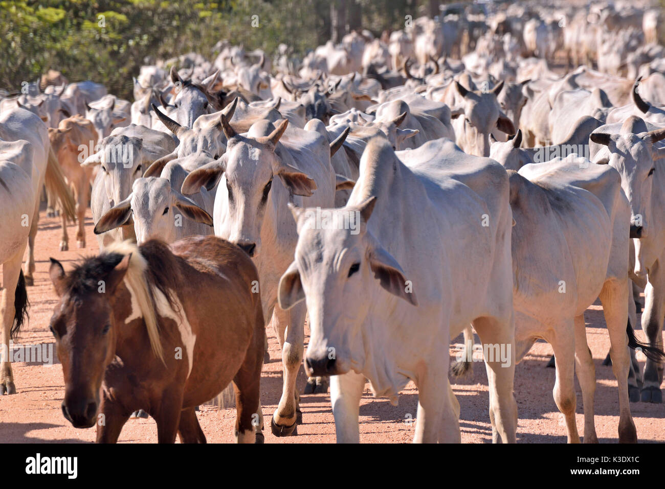 Brazil, Pantanal, herd of cattle, Nelore Cattles, conformed to the climatic conditions of the biggest bottomlandes of the earth - Stock Image